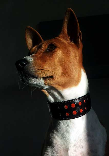 Basenji dogs are alert and affectionate. They deserve special Basenji collars
