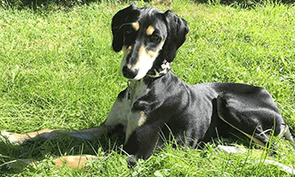 Saluki puppy Altai at Dog Moda. Designer of Whippet, Greyhound and sighthound collars, leads, accessories