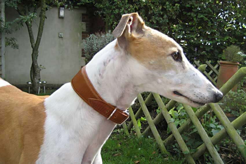Greyhound collars - Padded soft leather collars for Greyhounds