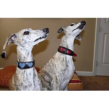 Two Whippets in their Blue Suede and Red Hearts collars