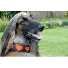 Hound collar with orange suede hearts in size L modelled by an Afghan Hound
