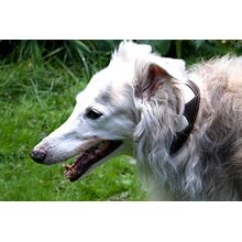 Cream hearts collar modelled by Silken Windhound