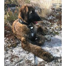 Leopard hearts hound collar on a brindle Afghan Hound puppy