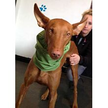 Fabric cotton dog snood was used to protect post operation scars by Ernie the Pharaoh Hound