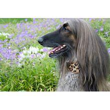 Savannah cat cowhide hound collar modelled by an Afghan Hound