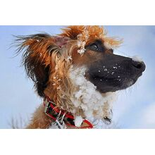 Red leopard greyhound leather collar on an Afghan Hound