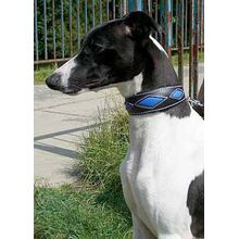 Blue rhombi hound collar on a young whippet