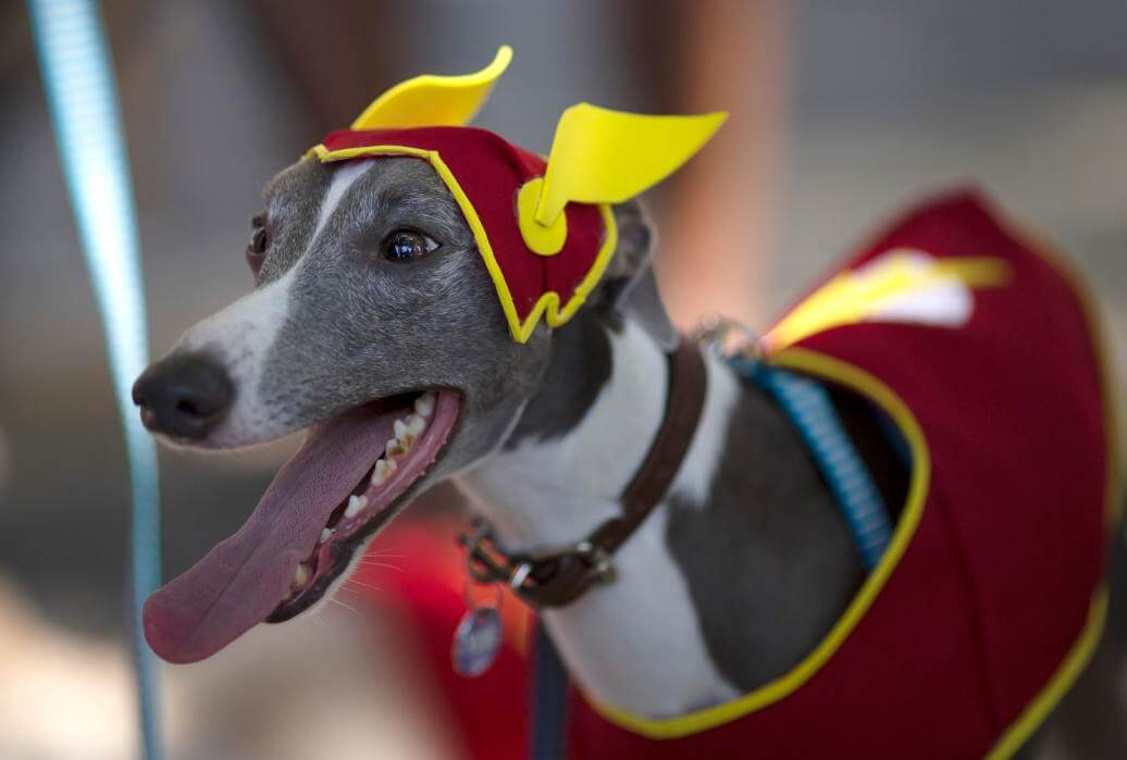 Whippet collar during pet carnival in Brazil