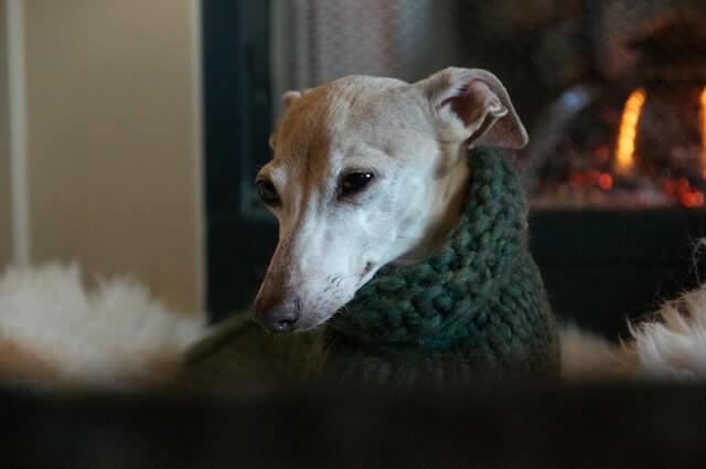 The Italian Greyhound temperament