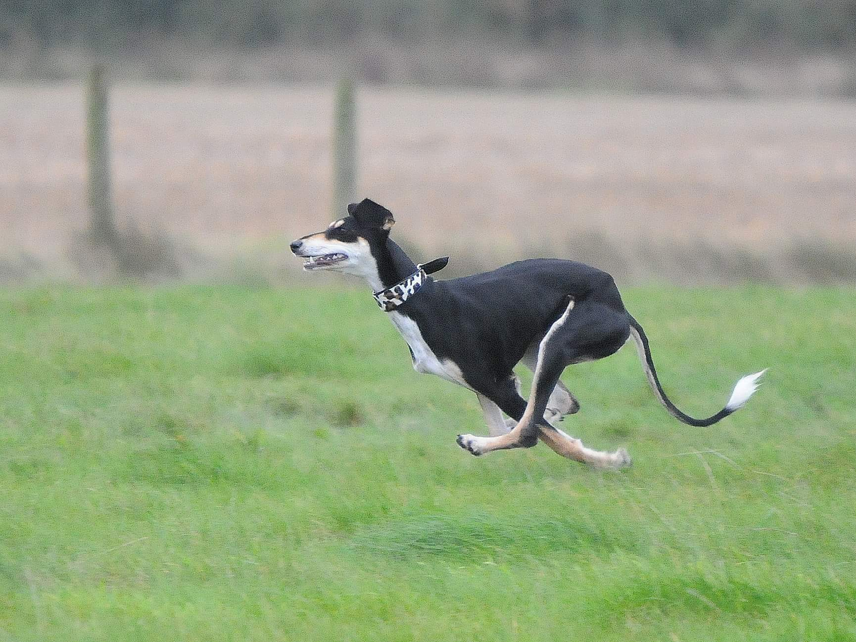 Black saluki running with sighthound collar