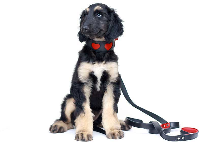 Red suede hearts sighthound collar on puppy - our original best selling sighthound collar design