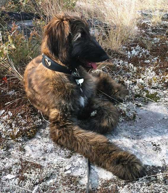Leopard hearts hound collar on a brindle Afghan Hound puppy