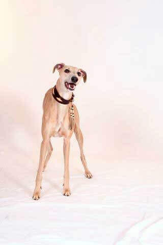 Brown rhombi hound collar in size S with decorative tassel