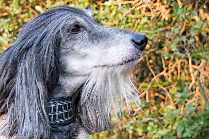Grey wolf hound collar modelled by our in house Head of Security and Chief Product Tester Kazbek