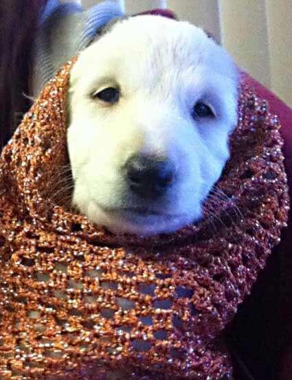 Orange crochet dog snood for an Afghan Hound - modelled by baby Natalie