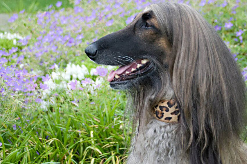 Savannah cat cowhide hound collar modelled by an Afghan Hound