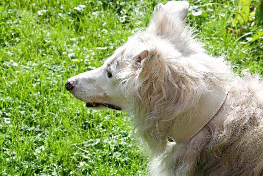 White reptile hound collar on Silken Windhound
