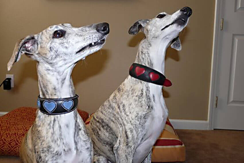 His and hers hearts whippet leather collars