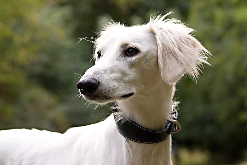 Traditional handmade leather lurcher collars
