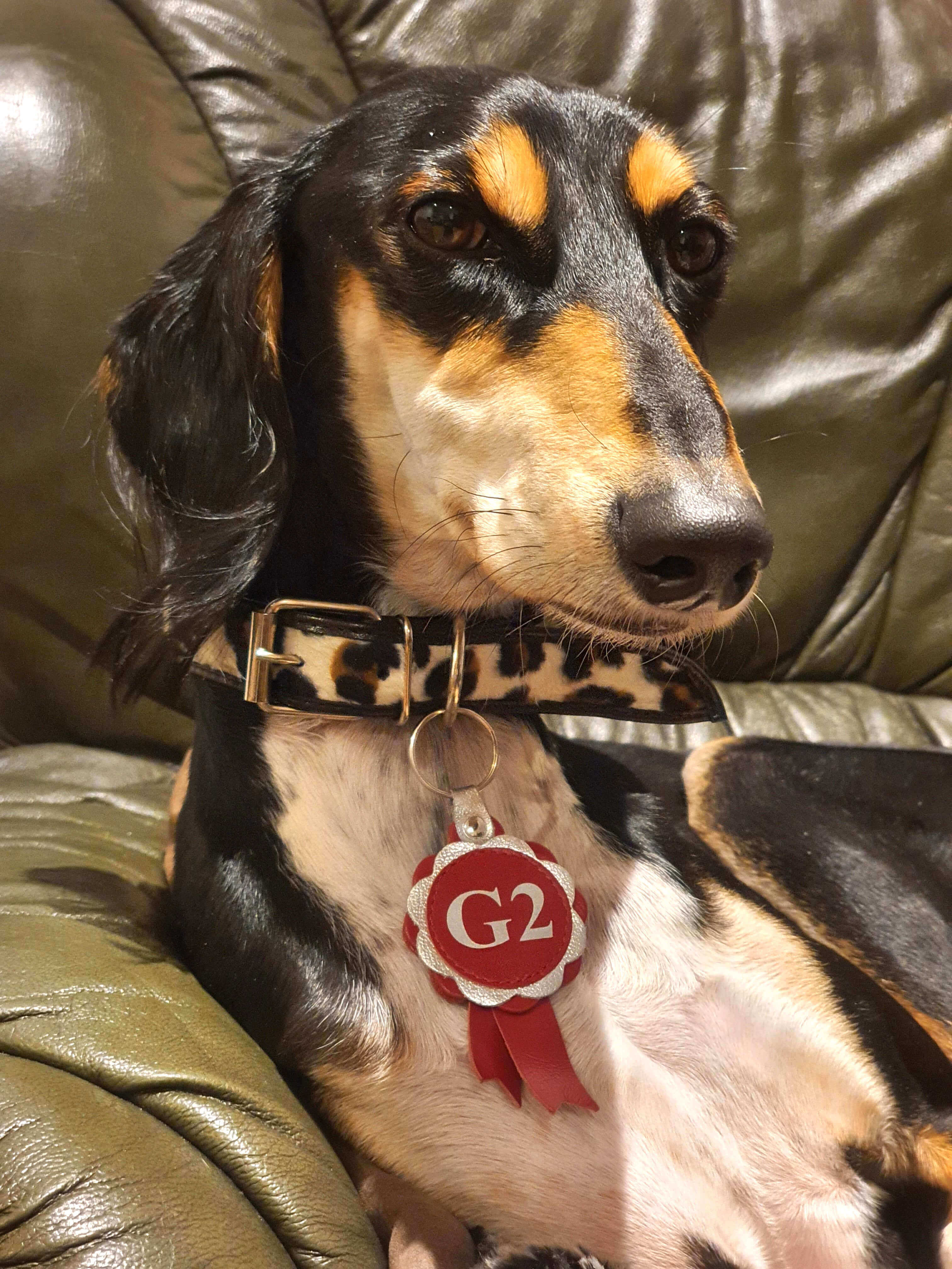 Dog Moda's very own Agiluki is very proud to have won into Grade 2 and wears his Agility Grade rosette with pride as a collar charm (although not when training or competing of course!)