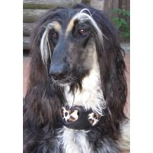 Leopard hearts hound collar on a black & tan Afghan Hound