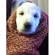 Orange crochet dog snood for an Afghan Hound - modelled by baby Natalie