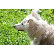 White reptile hound collar on Silken Windhound