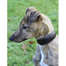 Traditional handmade brown leather hound collar on a Whippet