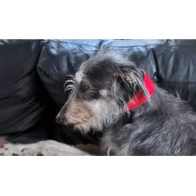 Photo of Dog Moda's client Callie, wearing her new traditional handmade red leather hound collar
