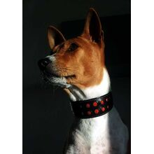 Whippet sized collars are perfect for Basenjis and similar sized hounds