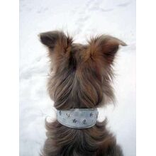 Silken windhound showing off his silver stars leather collar from Dog Moda