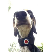 Saluki wearing MOD / RAF pilot padded leather collar