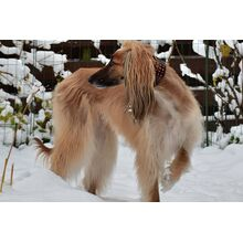Brown leather reflective dog collar on an Afghan hound