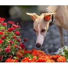 Pretty whippet lady in Elegant brown beige hound collar in Size S